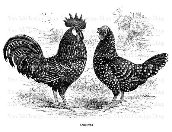Antique Rooster Hen Anconas Clip Art Vintage Printable ...