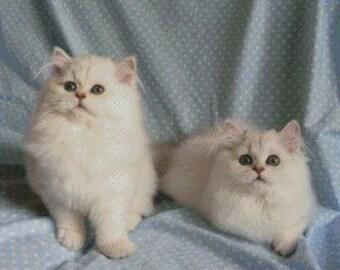 British Longhair Cat Cross Stitch Pattern 003