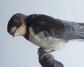 Vintage Taxidermy Songbird Swallow