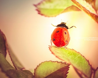 Dance Like No One's Looking -Garden Ladybug Dancing On Leaves In Summer Sun -Nature Garden Home Decor Wall Art -Fine Art Nature Photograph