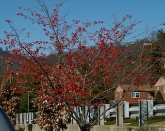 Green Hawthorn Tree Seeds, Crataegus viridris - 25 Seeds