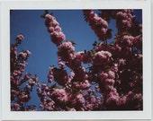 Original Cherry Blossom Tree 2 Polaroid