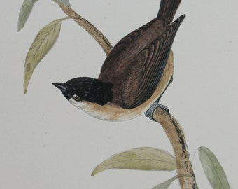 Antique Bird Print Marsh Titmouse Bird Art 19thC Ephemera Hand Colored
