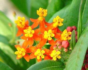 Three Orange Scarlet Butterfly Weeds, Monarch Butterflies love them