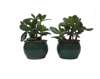 "Two Jade Plants Crassula Ovata In Round Green 3.5"" Ceramic Planters Wedding Party Favor Office Gift Small Succulent Containers"