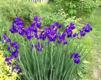 Siberian iris seeds -20- 40  seeds in a packet, ready for fall planting