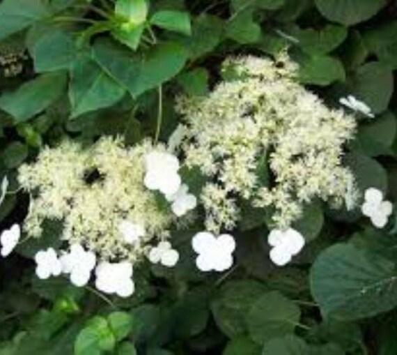 Climbing Hydrangea Anomala Petiolaris By Newlifenurserydotnet