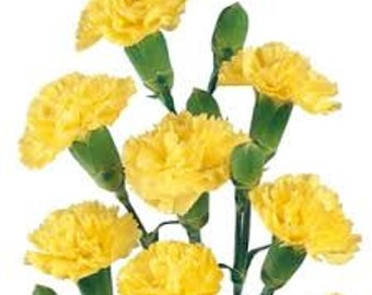 YELLOW CARNATION FLOWER seeds 5 fresh seeds ready to plant in the garden
