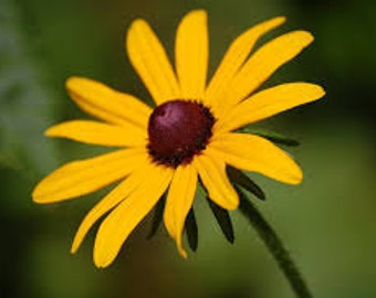 BLACK EYE SUSAN Flower seeds 100 Fresh seeds ready to plant in your garden