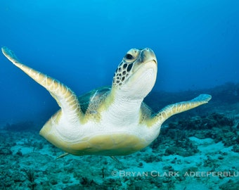 Green Sea Turtle Photo Print 8x10