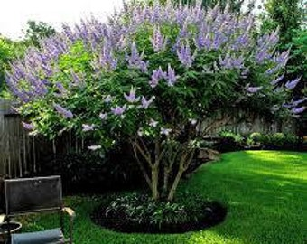 Vitex, Chaste, Texas Lilac Tree or Bush - 4 pack