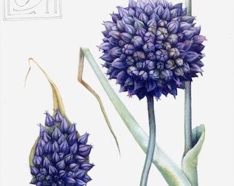 Original watercolour painting | Purple Allium flowers | Botanical art | Purple blue flower picture | Allium ampeloprasum