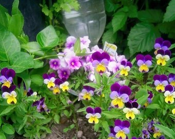 Johnny Jump Up Seeds, (Viola Tricolor) beds,borders as ground cover, work nicely in hanging baskets and other attractive containers.