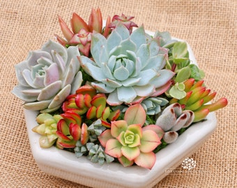 Mothers Day The Hexi-succulent arrangement/centerpiece in white hexagon container/bowl