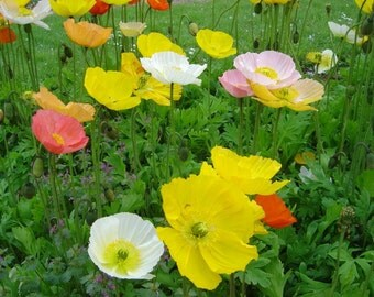 Poppy-Iceland- 500 Seeds