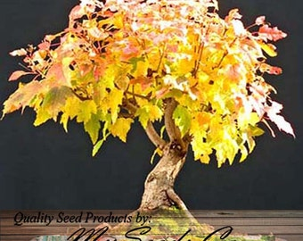 20 x AMUR MAPLE Seed - Acer Ginnala - Japanese Bonsai Tree Seeds  - Leaves Turn From Green To Red - Zones 3 - 9