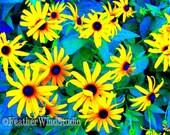 Fine Art Flower Nature Photography Black Eyed Susan Perennials Curly Flower Petals Yellow Wildflowers Gardener Wall Art Altered Photo Print