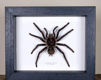 Bird Eating Tarantula in Box Frame (Pamphobeteus antinous)