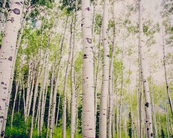 Colorado Aspen Birch Trees, Nature Forest Photography, Tree Home Decor, Green, Summertime, Fine Art Nature Photo, Trees, Leaves, Aspen Photo