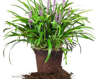 Royal Purple Liriope - 1 gallon