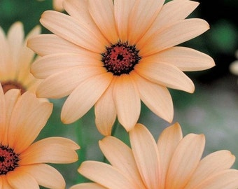 African Daisy Salmon Flower Seeds (Dimorphotheca Sinuata Salmon) 50+Seeds