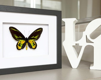 Rare Real Ornithoptera Rothschildi Framed  - Taxidermy - Home Decoration