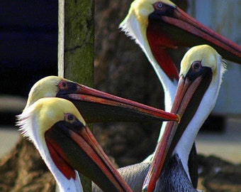 Pelicans gather at the fish cleaning table for a snack