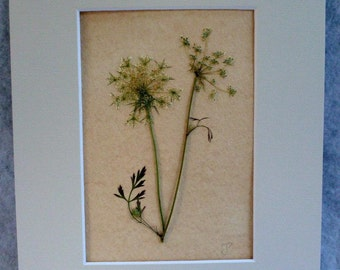 FREE SHIP  Real Pressed Fern Queen Anne's Lace Botanical Herbarium Specimen Art Vintage Style 5x7