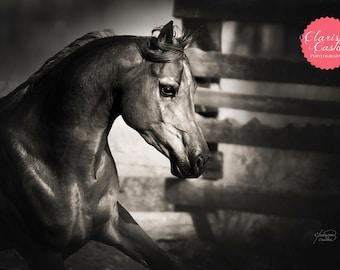 "Black & White Arabian Horse Photographic Print, ""Shadow Racer"""
