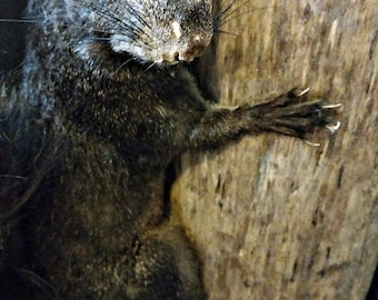 Vintage Black Squirrel Taxidermy Mount
