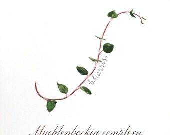 original watercolor - sprig of wire vine with calligraphy latin description