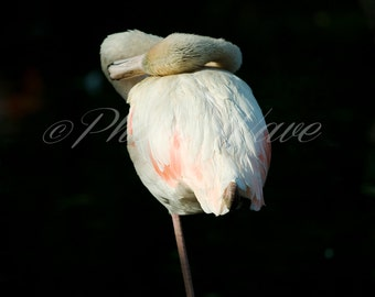 SLEEPING FLAMINGO ANIMALsoul: pink Flamingo, fine art photography, fine art, nature photography, wonderfull nature, bird photos