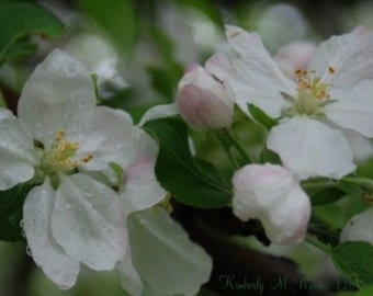 Apple Blossoms on Canvas -- SAVE 10 & free shipping!!!