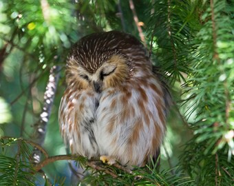 Northern Saw-whet Owl, sleeping owl, nature photography, bird photography, rustic home decor, baby room decor, fine art photography 8x10