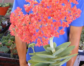 Crassula Falcata Succulent Cactus