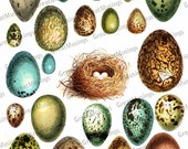 Bird Eggs Nest Download Digital Collage Sheet colorful Images Graphics No.320