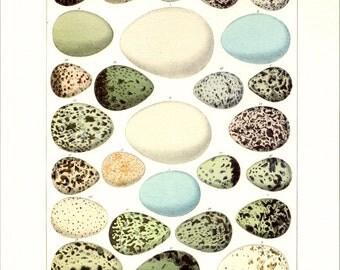 Natural History Print Oken's Egg Illustration to Frame or for Paper Arts PSS 2851