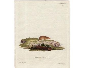 1775 ANTIQUE MOLE PRINT original antique hand colored engraving of a brown mole -  mus foricinus Herrmann by Schreber