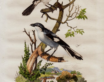 1838 Antique lovely print of birds, countryside flora and fauna, nightingale, songbirds, original antique 179 years old