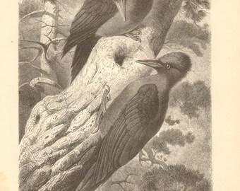 1878 Black Woodpecker - Dryocopus martius Original Antique Engraving