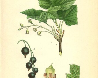 Botanical Image - BLACK CURRANT  Svarta Vinbar, Ribes Nigrum L. Book Plate 281