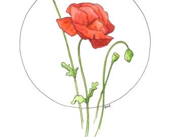 poppy No. 1    original drawing in watercolor pencil & ink