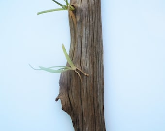 Air Plant Holder, Reclaimed Wood, Ready To Ship, Nests And Burrows