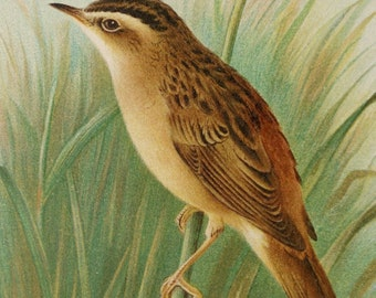 1890 Antique print of a SEDGE WARBLER BIRD with Nest. Songbirds. Ornithology. Bird print. 127 years old beautiful lithograph