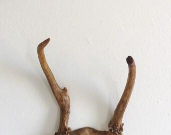 Vintage Deer Skull and Antlers . Wall Hanging . Mounted Skull . Mounted Antlers . Taxidermy . Real Animal Skull . Deer Wall Hanging