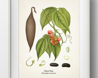 Ordeal Bean - Calaber Bean - Physostigma venenosum - KO-49 - Fine art print of a vintage botanical natural history antique illustration