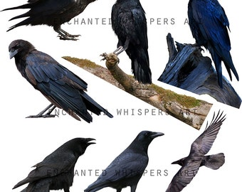 crow and ravens Halloween overlays or clipart for photoshop
