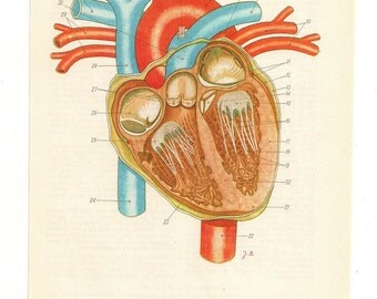 Anatomically correct heart Anatomical anatomy art poster Vintage Prints brain Medical Diagrams skull illustrations Print  Paper Ephemera Old