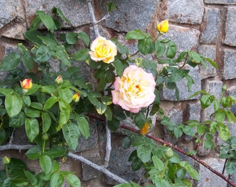 Roses, Rose vines, Print, Printable, Flowers, Stone wall, Yellow Rose, Orange Rose, Home Decor