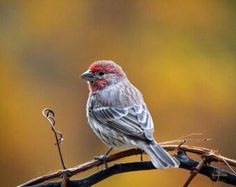 Wildlife Photography, Bird Pictures, Fine Art Photography, Nature Photo Prints, Fall Photography, House Finch Bird Decor, Wall Art Decor